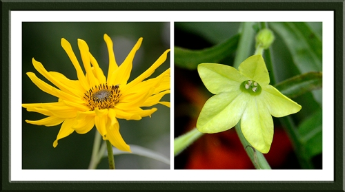 rudbeckia and nicotiana