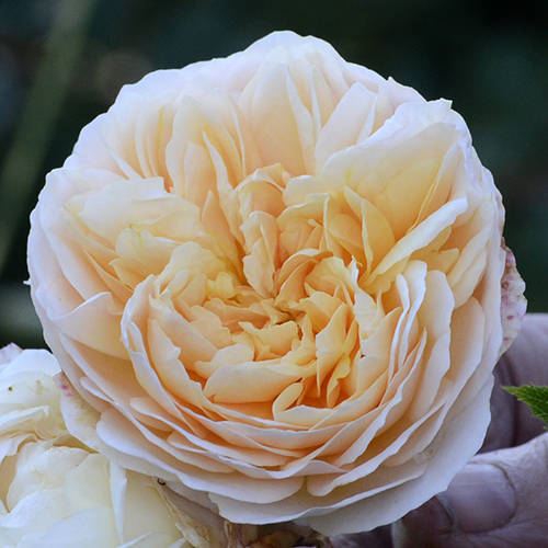Golden Syllabub rose