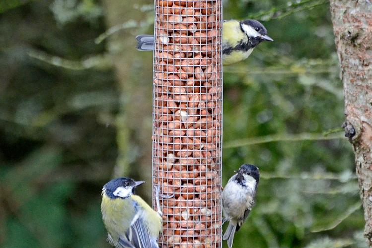 tits on feeder