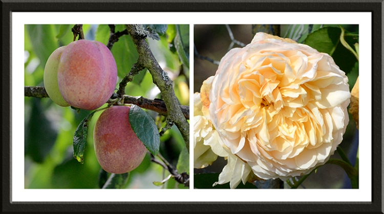 plums and golden syllabub rose