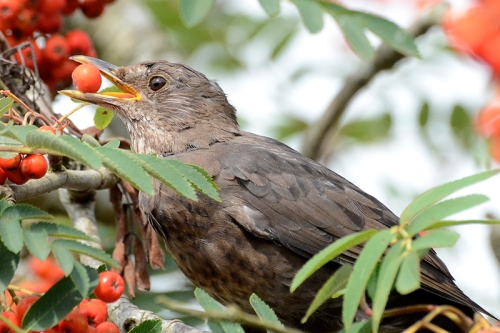 blackbird with rowan berry