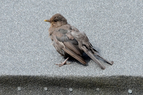 blackbird on shed roof