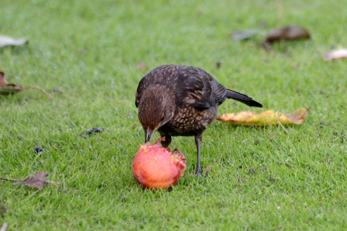 blackbird eating plum