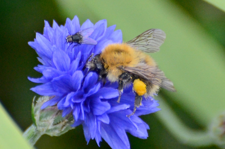 fly and bee on cornflower