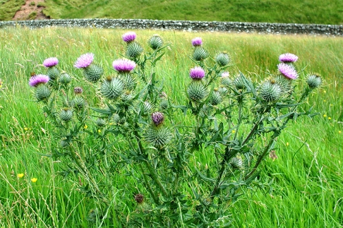 thistle at Lodgegill