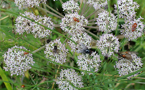 umbellifer with insects