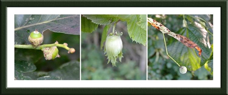 oak, hazel and lime