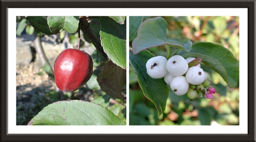 crab apple and snow berry