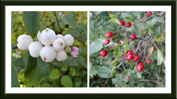 snowberry and hawthorn