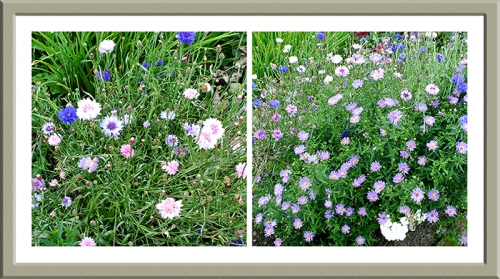 Michaelmas daisies and cornflowers