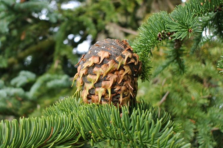 Noble fir cone