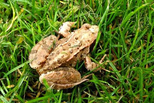 Meikleholm frog