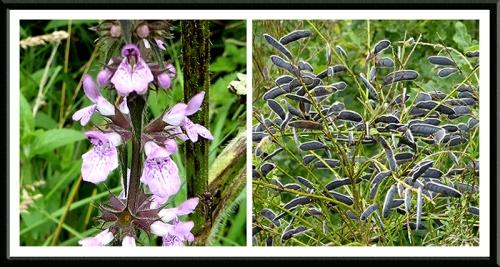 wildflowers scots dike