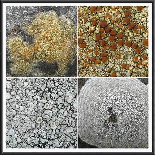 hermitage lichen