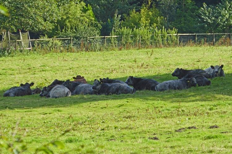 Castleholm cattle