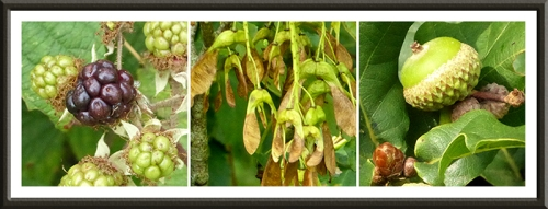 bramble, acorn and winged seeds