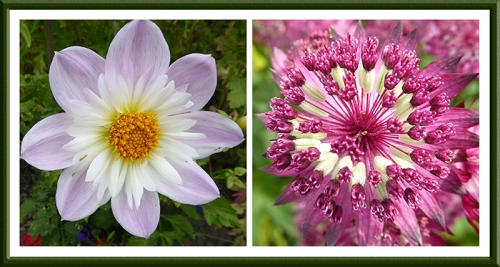 dahlia and astrantia