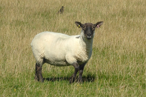 sheep at Eaglesfield