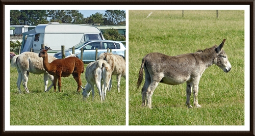 alpacas and donkey at Powfoot
