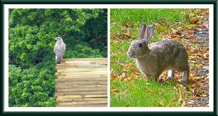 buzzard and rabbit