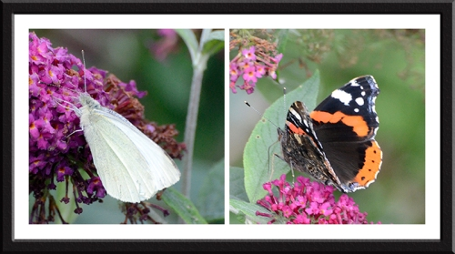 red admiral and white butterfly