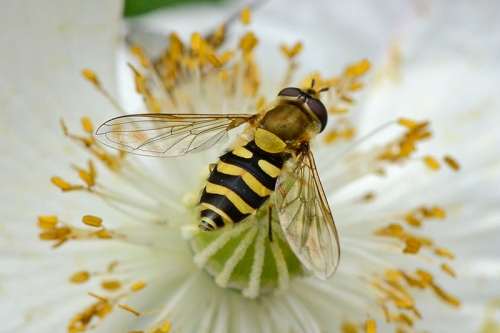 hoverfly on japanese anemone