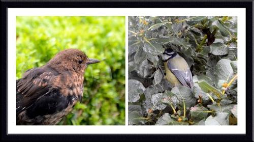 blackbird and blue tit