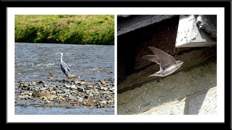 heron and swallows