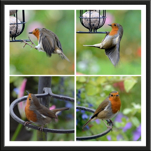 robin at feeder