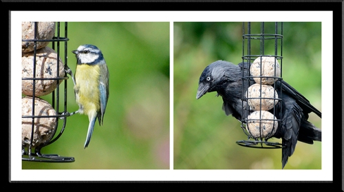 blue tit and jackdaw