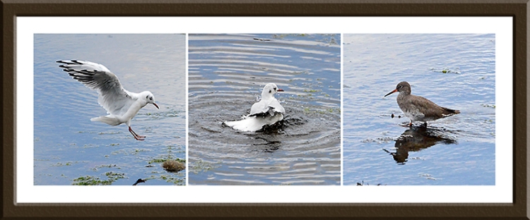gulls and redshank