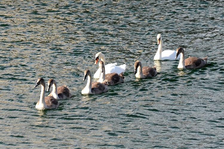 swans at eyemouth