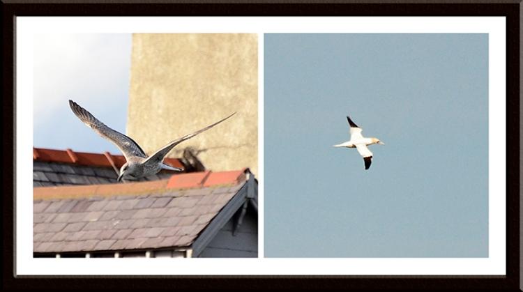 gulls and gannets
