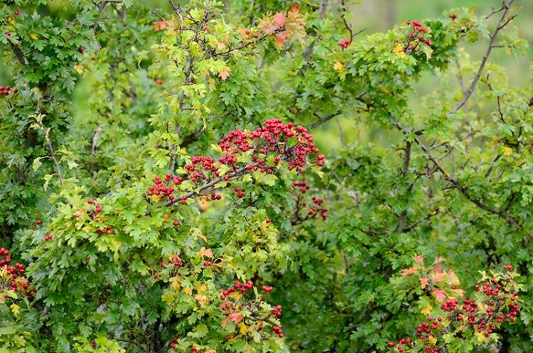 Longtown berries