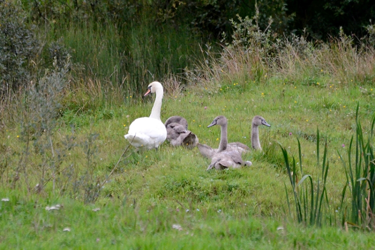 And a family of swans a bit nearer to us.