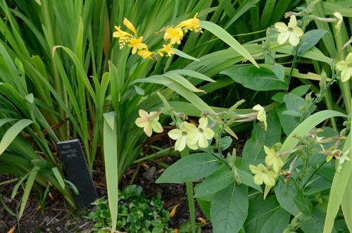 nicotiana and crocosmia