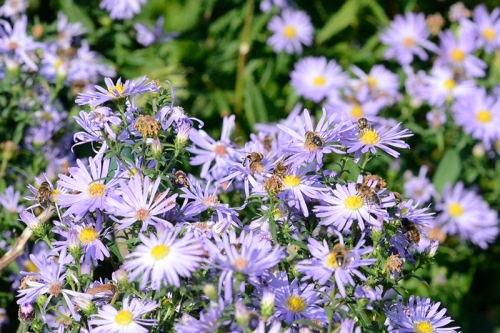 Bees on Michaelmas daisies