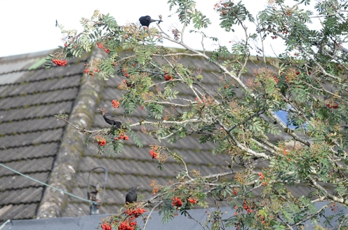 blackbirds in rowan