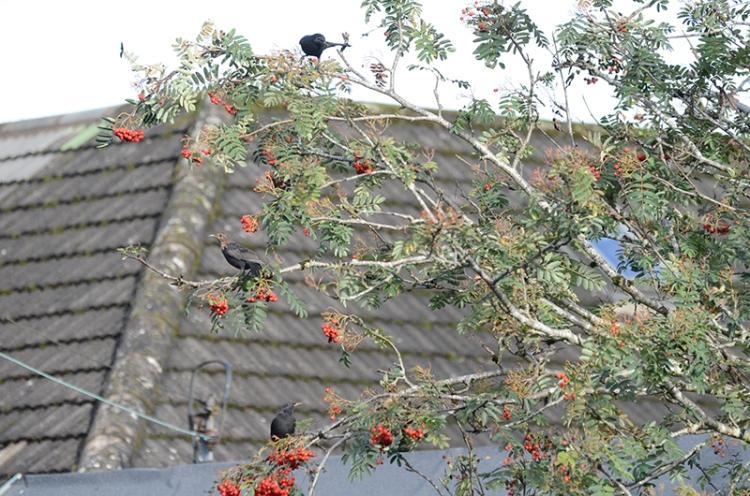 blackbirds in rowan