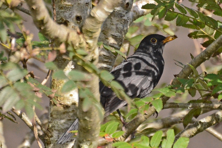 blackbird in rowan