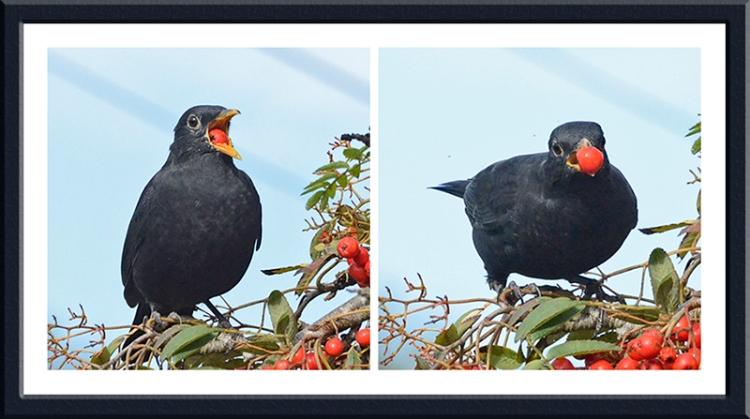 blackbirds and rowan berries