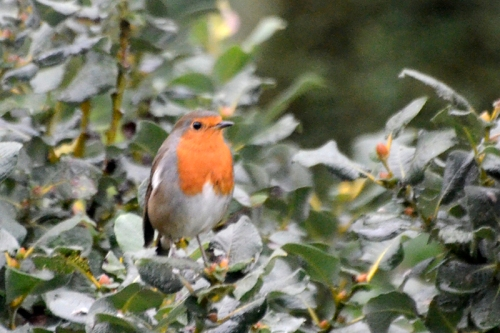 Robin in a bush