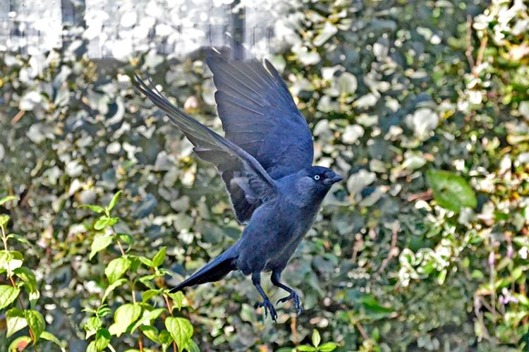 flying jackdaw