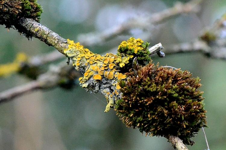 lichen and moss on elder