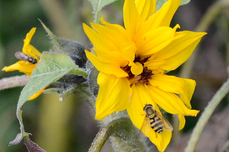 sunflower with hoverfly