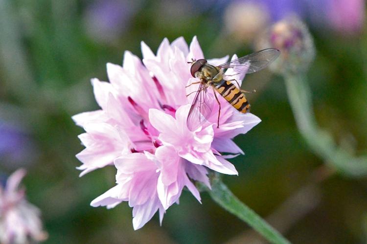 hoverfly on cornflower