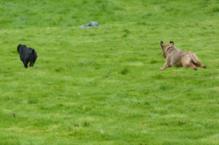 terrier race benty show