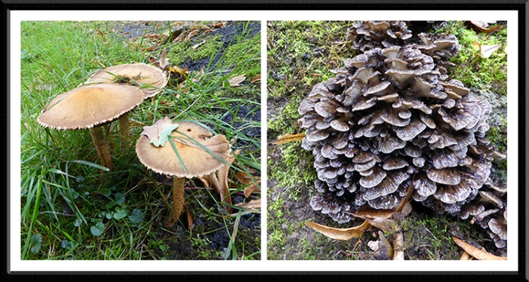 fungi in Buccleuch Park