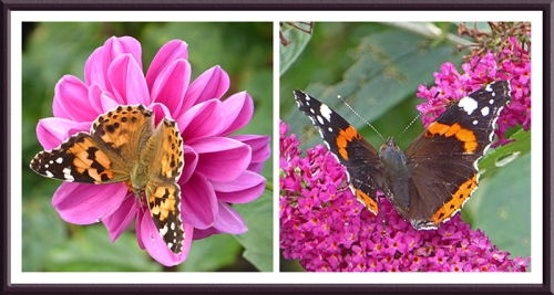painted lady and red admiral butterflies
