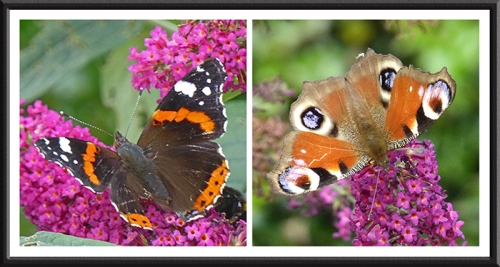 red admiral and peacock butterflies